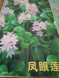 杭州萧山新街供应旱伞草1000万芽