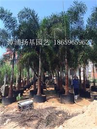 狐尾椰子树 狐尾椰子 福建椰子树