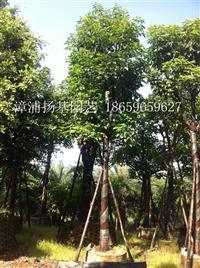 重阳木 重阳木(带骨架)福建重阳木