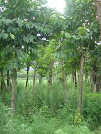 江西九江喜树供应 出售喜树