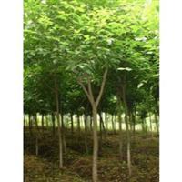 重阳木、小叶鸡爪槭、红叶石楠、湿地松、三角枫.马褂木、罗汉松