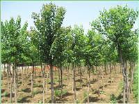 榉树、红豆杉、重阳木、小叶鸡爪槭、红叶石楠、湿地松