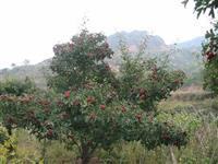最新山楂树全冠价格_8公分10公分12公分山楂树全冠价格供应