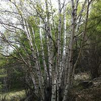 供应:白桦树,丛生白桦,河北白桦,白桦小苗