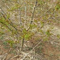 山楂树名称・山楂树名称嫁接山楂树・5-30公分挂果山楂树品种