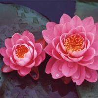 蚌埠常年大量快乐赛车开奖优质睡莲品种,粉牡丹,彼得,询丽,火冠,等等