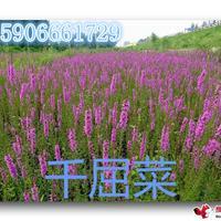 杭州萧山常年大量供应千屈菜,自产自销,价格优惠。