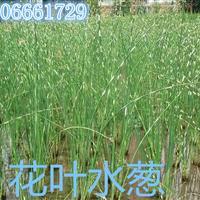 杭州萧山大量供应水葱1500万芽,自产自销,价格优惠。