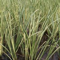 杭州萧山供应千屈菜,蒲苇,香蒲,再力花,和其他水生植物。