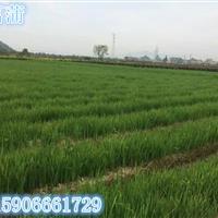 杭州萧山大量出售黄花鸢尾2000万芽,自产自销,价格优惠。欢