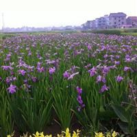 杭州大里常绿鸢尾200万芽,批发零售本苗圃基地500余亩