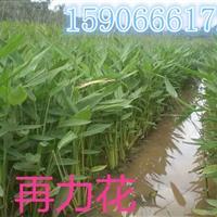 杭州大量供应再力花,黄菖蒲,西伯利亚鸢尾,千屈菜,价格优惠。