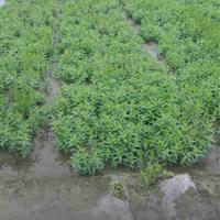 浙江杭州大量供应旱伞草,花叶水葱,海寿花,荇菜,花叶美人蕉。
