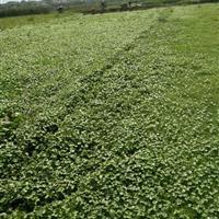 萧山大量供应花叶芦竹500万芽,和其它水生植物,价格优惠。