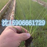 浙江杭州大量供应千屈菜,黄菖蒲,海寿花,和其它水生植物。