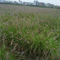 杭州萧山区供应黄花鸢尾2000万芽,和其它水生植物。