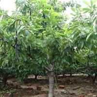 山西供应3公分樱桃树3公分樱桃树价格3公分占地樱桃树详情