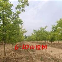 最新山楂树价格・3公分4公分5公分山楂树6公分占地山楂树价格