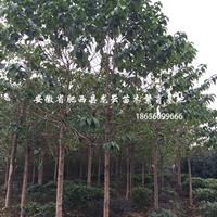 安徽合肥肥西喜树 重阳木 黄连木 乌桕 三角枫 红叶李供应商
