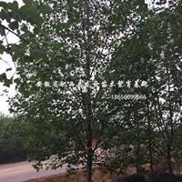 安徽馬褂木 欒樹 無患子 杜英 合歡 香樟供應商