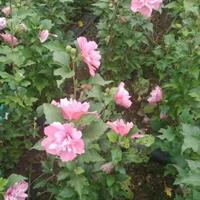 超低價出售叢生木槿 獨干木槿 木槿花  木槿苗