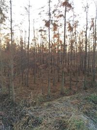 5公分池杉.6公分池杉