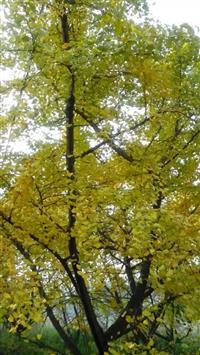 黄金树-银杏树