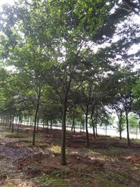 浙江长兴精品榉树10-15cm