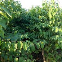 海州常山绿化树苗批发 泰安苗木供应海州常山苗 海州常山价格