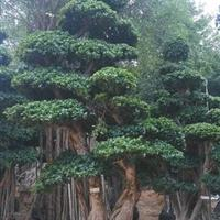 漳州地区快乐赛车开奖造型榕树