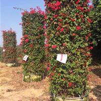 漳州地区出售三角梅