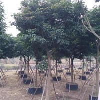 漳州地区供应1秋枫