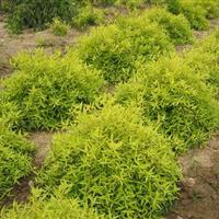 彩叶植物金叶莸 金叶莸小苗  金叶莸价格  批发金叶莸