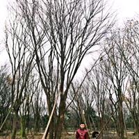 茶条槭,四川茶条槭基地,熟货茶条槭