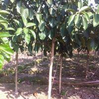 漳州地区供应高山榕