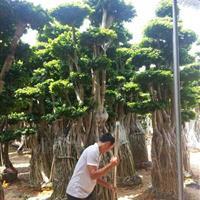 沙西镇供榕树桩