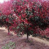 精品红叶石楠球-精品红叶石楠树-南京*新红叶石楠价格