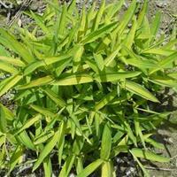 自家苗圃销售   菲黄竹、菲黄竹小苗园林绿化小区绿化