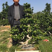 自家种植造型榕树