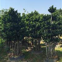 自产自销榕树