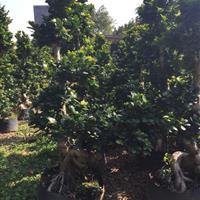 自家种植榕树