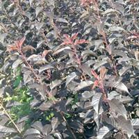 嵊州地区供应一年生红叶樱花小苗