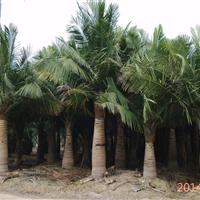 福建福州国王椰子低价出售