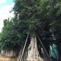自家种植老榕树假植苗