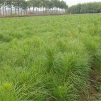 江西湿地松小苗,12公分湿地松,15公分湿地松