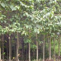 江西喜树小苗,10公分喜树,15公分喜树价格