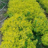 彩叶植物金叶莸 金叶莸小苗 批发金叶莸
