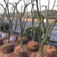 移植红心柚子树