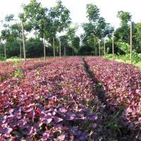 紫叶酢浆草  红叶醡浆草  地被草花醡浆草  醡浆草价格