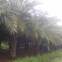 供应银海枣 加拿利海枣 华棕 狐尾椰 大王椰树等